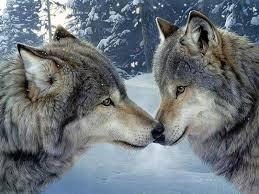 les loups.jpeg
